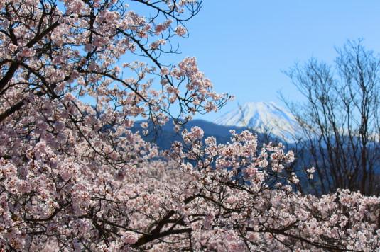 桜 大法師公園 ビュースポット 富士山