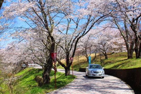 桜 大法師公園 ビュースポット 車