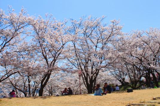 桜 大法師公園 お花見 芝生