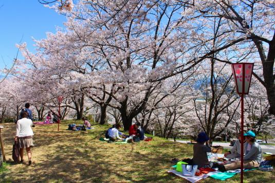 桜 大法師公園 お花見 芝生2