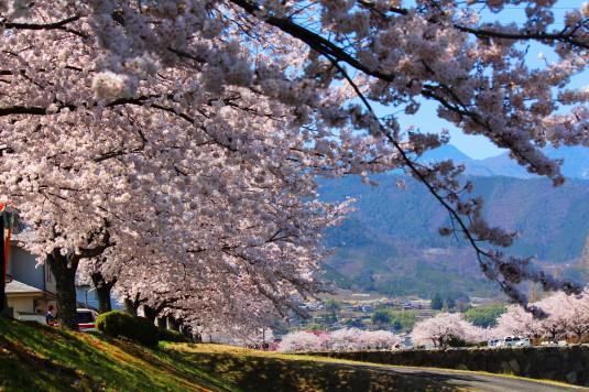 桜 滝沢川公園 南側