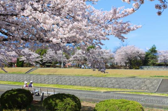 桜 滝沢川公園 南側 ベンチ
