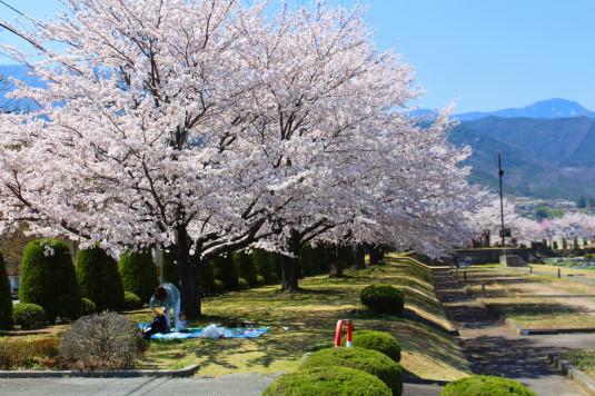桜 滝沢川公園 南側 弁当