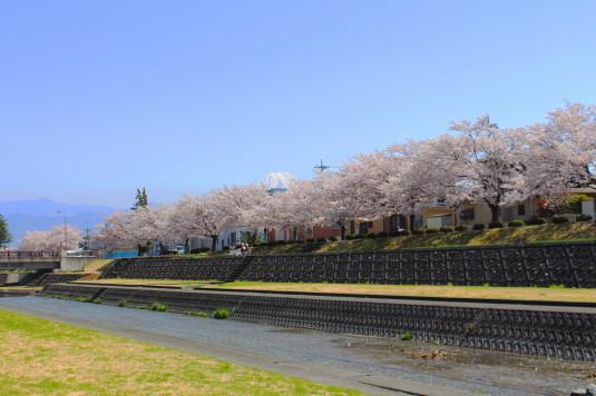 桜 滝沢川公園 北側 富士山