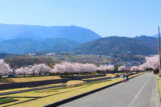 桜 滝沢川公園 北側