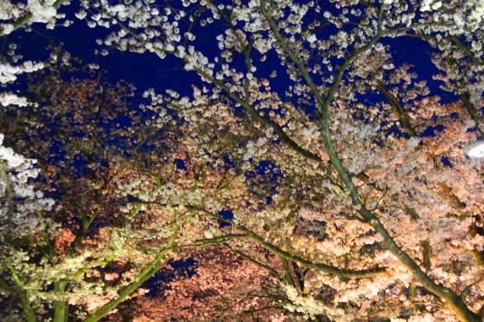 桜 石和温泉桜通り 見上げる