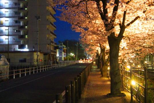 桜 石和温泉桜通り 遊歩道