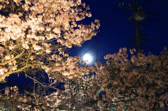 桜 石和温泉桜通り 見上げる 月