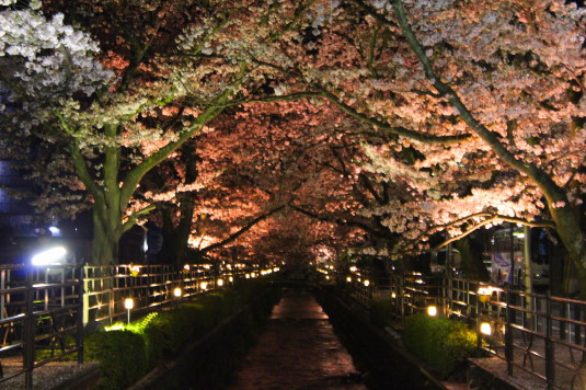 桜 石和温泉桜通り 川