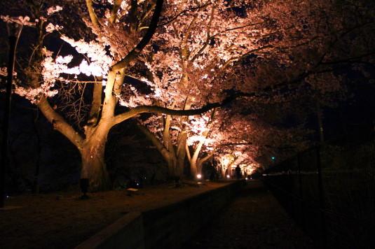 桜 甚六桜 ホーム
