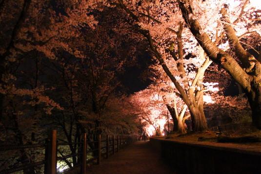 桜 甚六桜 まっすぐ
