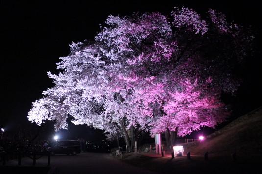 桜 八代ふるさと公園 甲州蚕影桜 近く