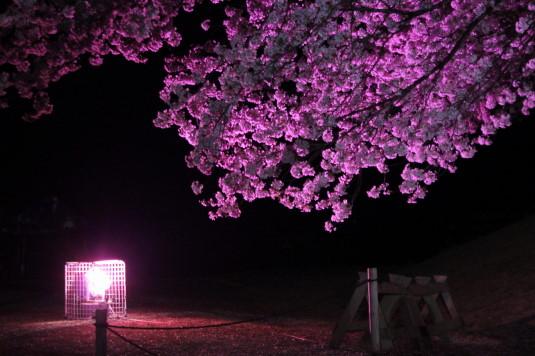 桜 八代ふるさと公園 甲州蚕影桜 ライト