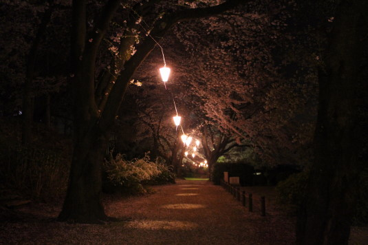 桜 八代ふるさと公園 桜並木