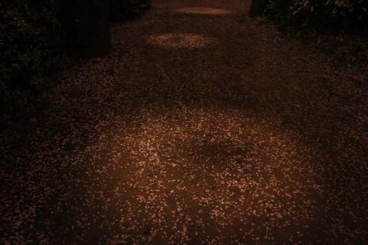 桜 八代ふるさと公園 桜並木 足元