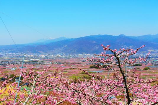 リニア 花鳥山 桃畑