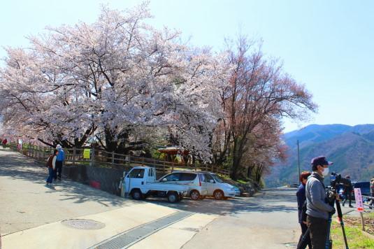 リニア 花鳥山 桜