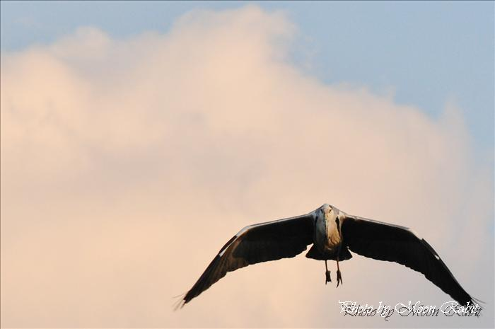 青鷺 中山川大橋 鷺のコロニー