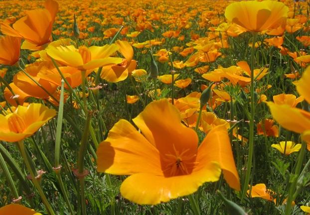 poppy150517-107.jpg