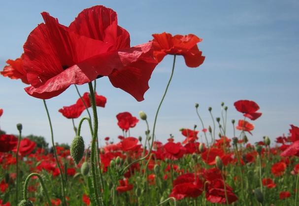poppy150517-108.jpg