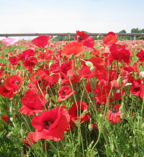 poppy150517-109.jpg