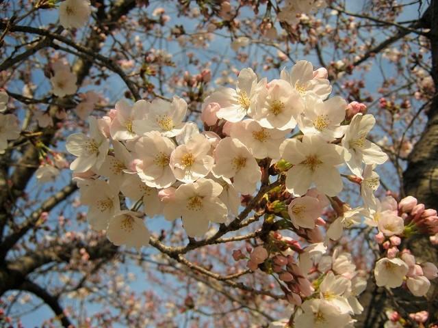 someiyoshino150329-102.jpg