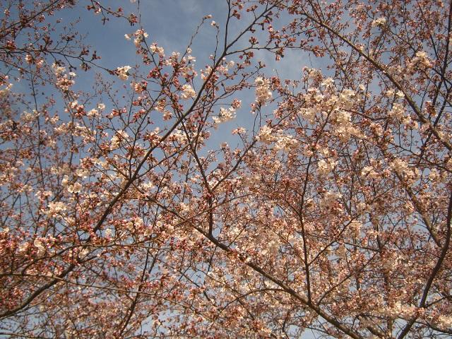 someiyoshino150329-103.jpg