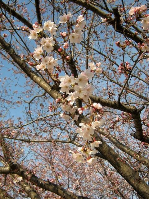 someiyoshino150329-104.jpg