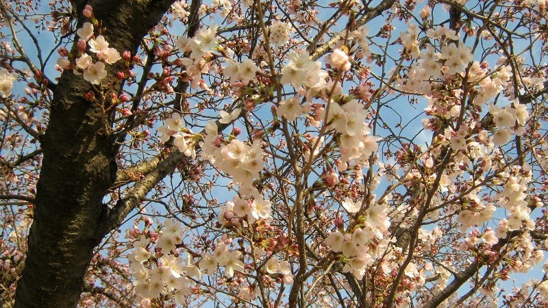 someiyoshino150329-105.jpg