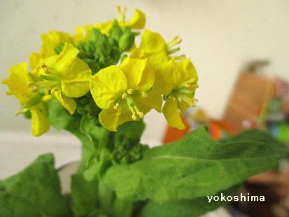 2015 2 10菜の花