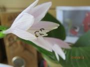 オオバギボウシの花 (1)