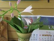オオバギボウシの花 (2)
