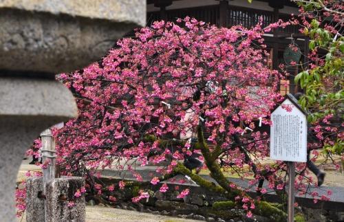 1孝子桜15.03.15