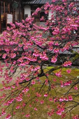 2孝子桜15.03.15