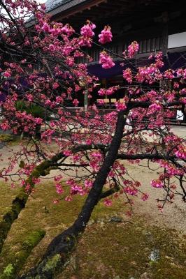3孝子桜15.03.15