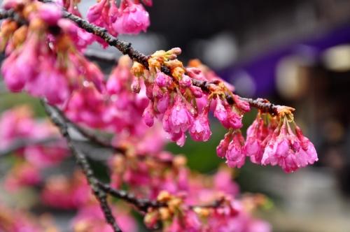 4孝子桜15.03.15