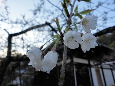 1うば桜15.03.19