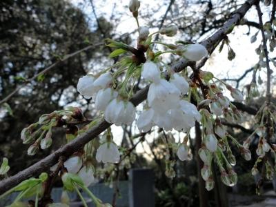 2うば桜15.03.19