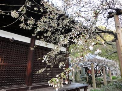 4うば桜15.03.19