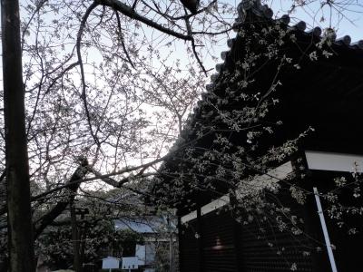 5うば桜15.03.19