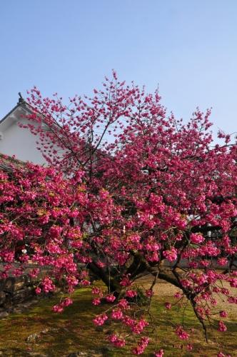 2孝子桜15.03.22