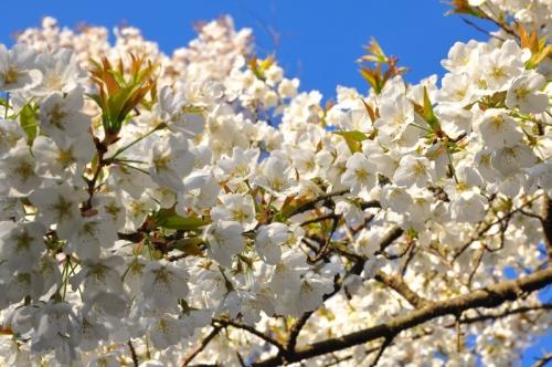 1うば桜15.03.27