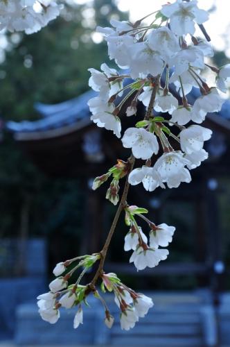 2うば桜15.03.27