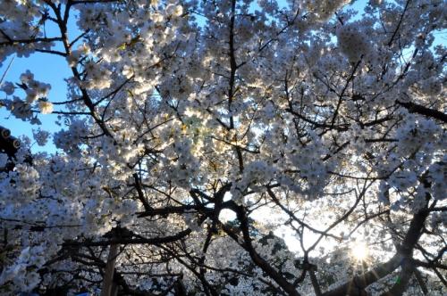 3うば桜15.03.27