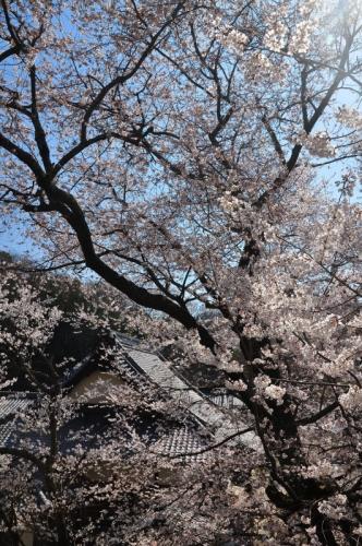 4金龍桜15.03.27