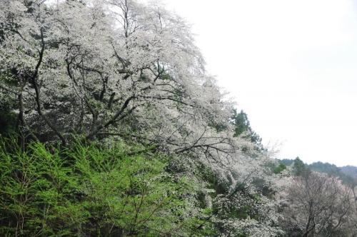 1源太桜15.04.05