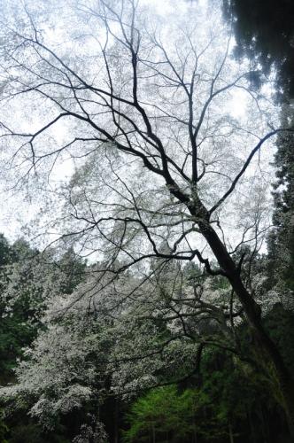 3源太桜15.04.05