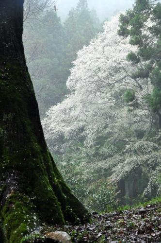 4源太桜15.04.05