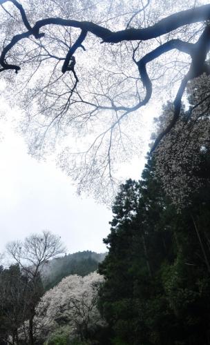5源太桜15.04.05