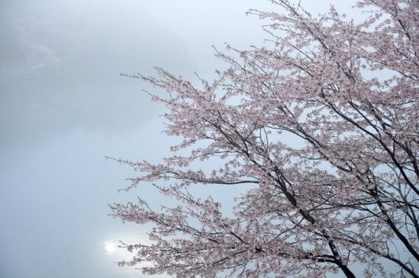 1仁淀川町桜15.04.04